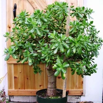 Крассула Денежное дерево Crassula Описание виды и