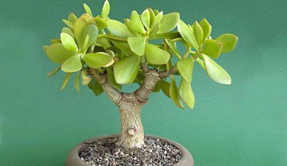 «Денежное» дерево: приметы и суеверия