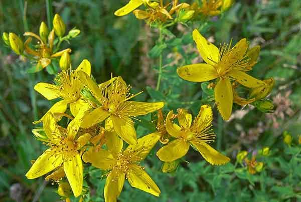 Цветы-талисманы: какие растения защищают дом от бедности и проблем