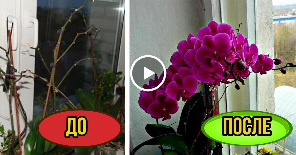 Орхидея.уход за фаленопсис в домашних условиях