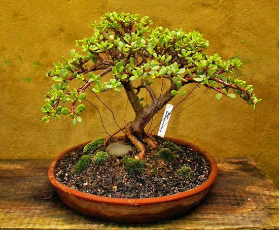 Денежное дерево уход и выращивание в домашних условиях 63